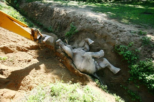 Em setembro de 2011, um elefante bebê foi resgatado com ajuda de uma retroescavadeira após ficar preso em uma vala em Bokakhat, na Índia. O animal permaneceu no buraco por duas horas. Uma equipe de resgate levou 30 minutos para retirá-lo da vala.  (Foto: Barcroft Media/Getty Images)