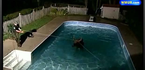 Em outubro do ano passado, um alce caiu em uma piscina na cidade de Manchester, no estado americano de New Hampshire, e precisou ser resgatado pelos bombeiros. (Foto: Reprodução)