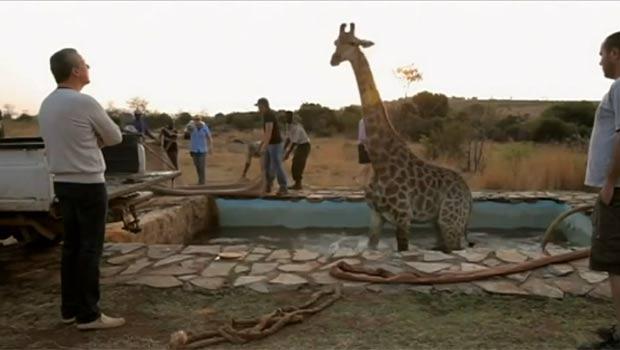 Em dezembro de 2011, uma girafa caiu em uma piscina durante a gravação do programa 'Wild at Heart', do canal britânico ITV. A equipe de resgate precisou quebrar a piscina para conseguir libertá-la. (Foto: Reprodução)
