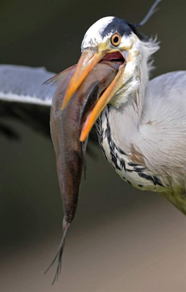 Em março de 2011, uma garça foi flagrada com um peixe enorme no bico no zoológico de Heidelberg, na Alemanha. A ave parecia estar com dificuldades para devorar a presa. (Foto: Ronald Wittek/AFP)