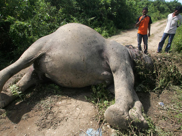Moradores de vilarejo indonésio observam carcaça de um elefante de Sumatra supostamente envenenado por trabalhadores de uma plantação de óleo de palma em Krueng Ayon, na província de Aceh, na Ilha de Sumatra, na Indonésia. A diminuição das áreas de habitat dos elefantes da espécie na região deu origem a confrontos por espaço. Muitas vezes famintos, os animais vagueiam por assentamentos humanos destruindo as lavouras. Em represália, humanos os matam. Estima-se que existam atualmente apenas 3.000 elefantes de Sumatra que permaneçam em estado selvagem. (Foto: AP Photo/Heri Juanda)
