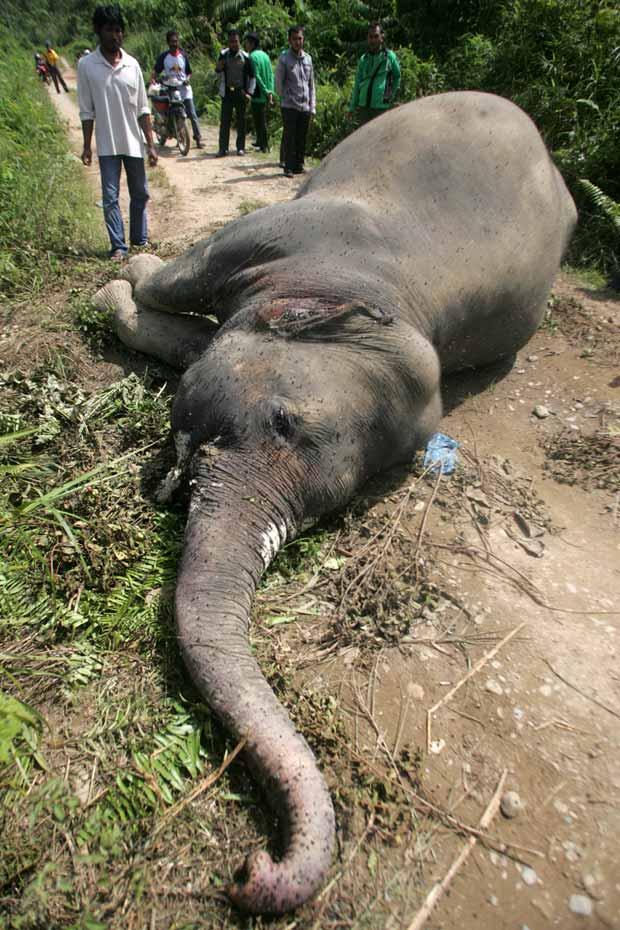 Muitas vezes famintos, os animais vagueiam por assentamentos humanos destruindo as lavouras. Em represália, humanos os matam. Estima-se que existam atualmente apenas 3.000 elefantes de Sumatra que permaneçam em estado selvagem. (Foto: AP Photo/Heri Juanda)