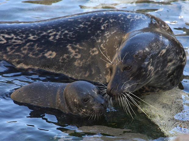 A foca Shelby, de 16 anos, faz carinho em seu filhote, que nasceu na última sexta-feira, nos Estados Unidos. (Foto: Terri Haines, Aquarium of the Pacific/AP)