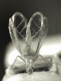 """Grilo da espécie Oecanthus henryi consegue emitir sons que servem como """"propaganda"""" para fêmeas. (Foto: Divulgação)"""