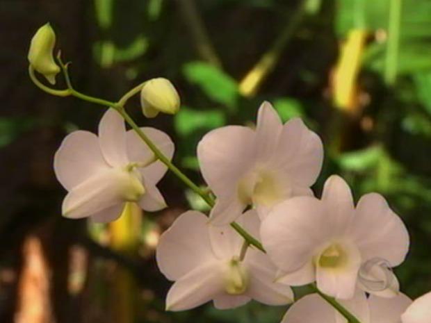 Orquídea (Foto: Reprodução/ TVCA)
