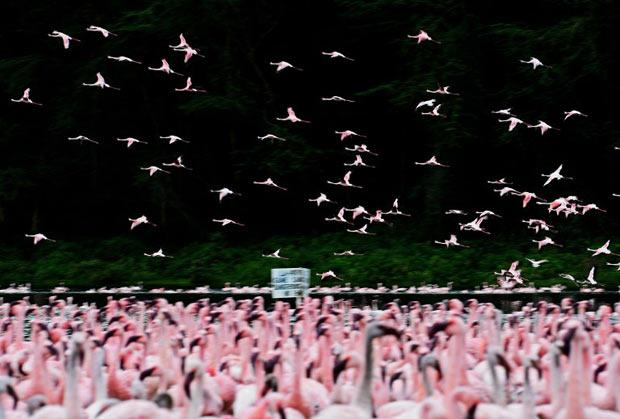 Centenas de flamingos-pequenos (Phoeniconaias minor) podem ser vistos na região de Naivasha, no Quênia, nesta quinta-feira (3).  (Foto: Carl de Souza/AFP)