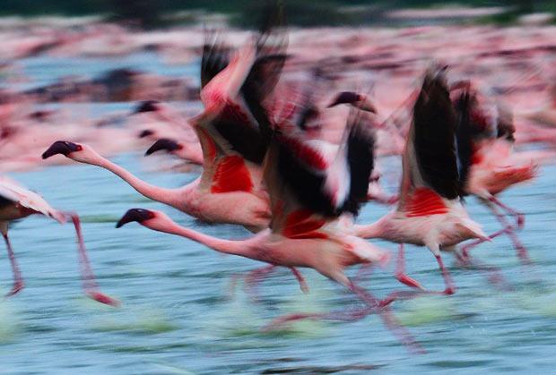 flamingos (Foto: Carl de Souza/AFP)