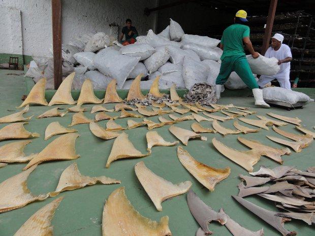 Ibama apreende 7,7 toneladas de barbatanas de tubarão em Belém, PA (Foto: Divulgação/Ibama)