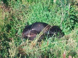 Vaca caiu fora da pista após o choque (Foto: Júlio Cunha Neto/RBS TV)