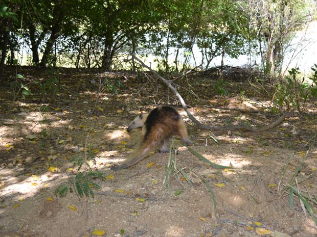 Tamanduá é capturado em casa em São Mamede, no Seridó da Paraíba (Foto: Cabo Maurilio/Corpo de Bombeiros)