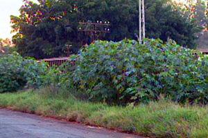 Moradores reclamam de mato alto em terreno (Foto: Reprodução/EPTV)