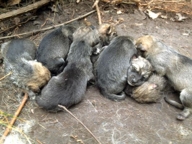 Filhotes de lobo mexicano (Foto: AP Photo/Wolf Conservation Center, Maggie Howell)