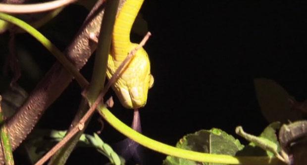 A cobra marrom de árvores ameaça as espécies nativas de Guam (Foto: BBC)