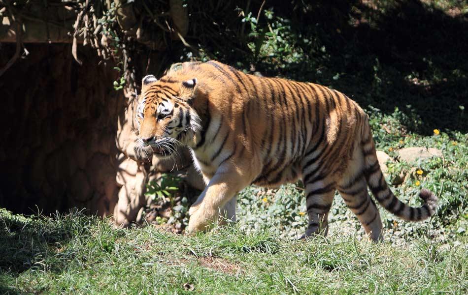 Tigre-de-bengala é novidade no Zoológico de São Paulo, que apresenta novos animais desde quinta-feira (17)