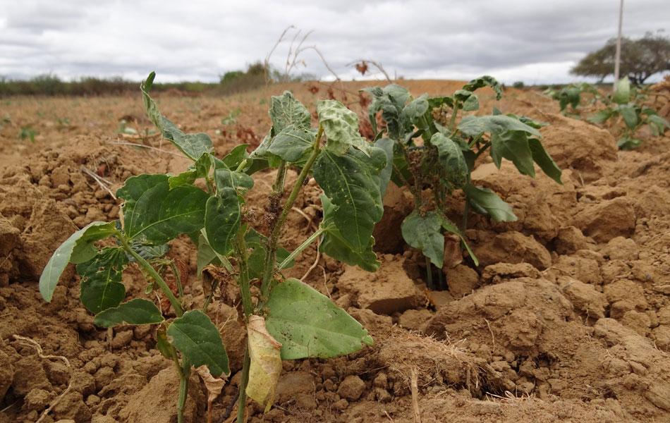 Só 30% do feijão germinou neste terreno localizado na região de sequeira de Lagoa Grande. A área depende da água da chuva para a irrigação.