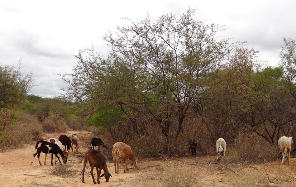 Ovelhas ainda estão gordinhas em Jutaí, porque as folhas estão caindo das árvores. Mas, se bater uma garoa, as folhas no chão apodrecem e os animais não terão mais o que comer durante a seca.