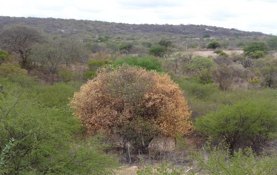Árvore seca se destaca na paisagem, em Jutaí.