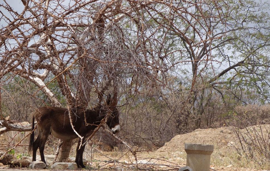 Jumento se refugia do sol quente embaixo de uma árvore seca.