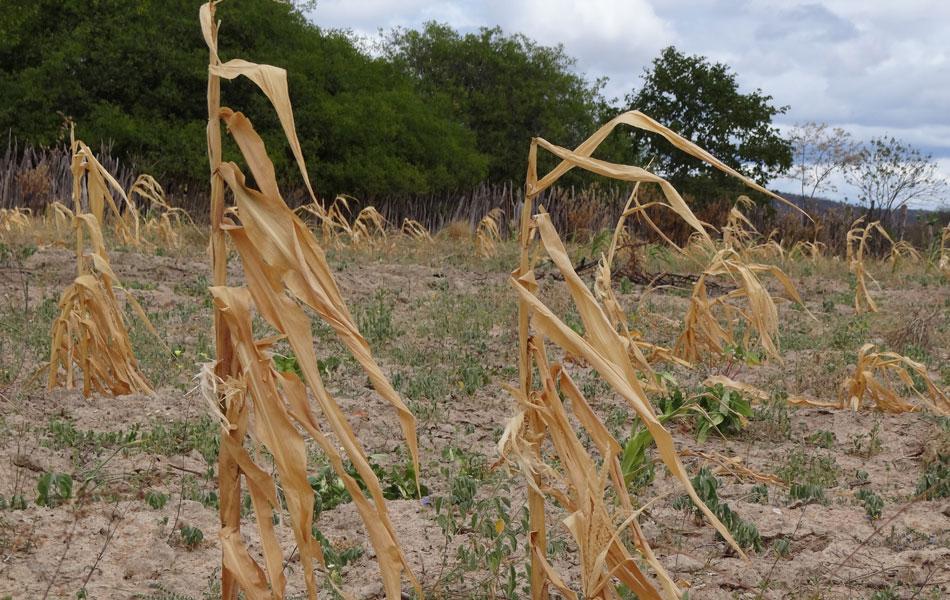 Toda plantação de milho e feijão de Lagoa Grande foi perdida por causa da longa estiagem.