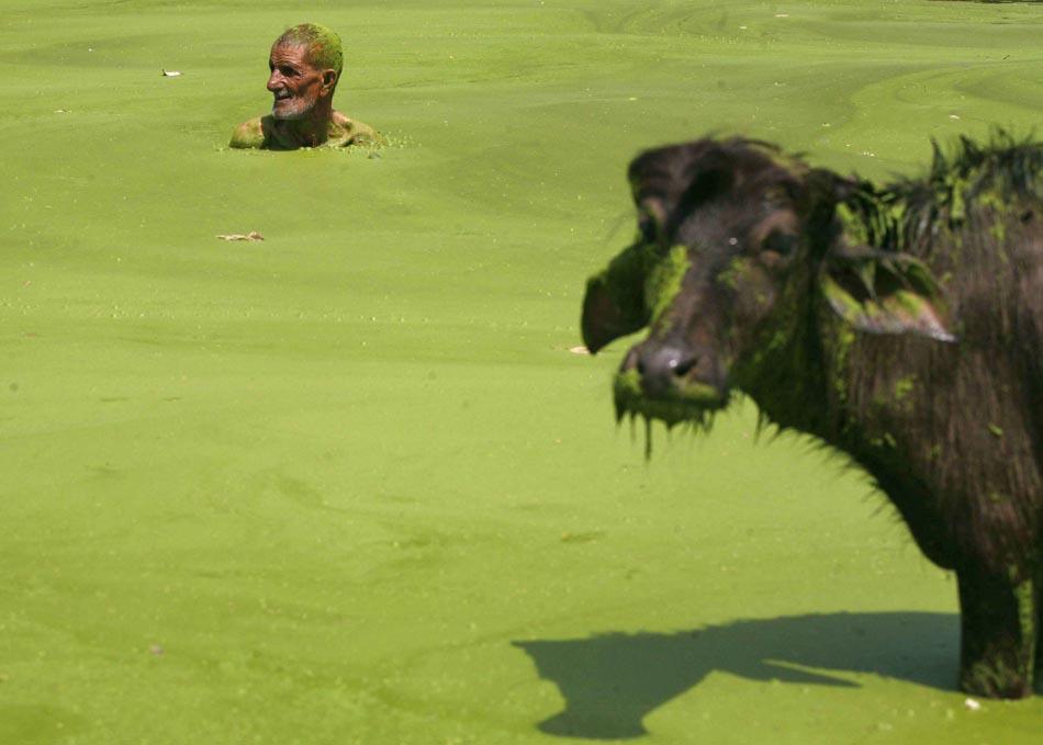 Homem nada em águas poluídas de um lago de Jammu, na Índia. De acordo com o as Nações Unidas o Dia Mundial do Meio Ambiente é comemorado anualmente em 5 de junho para aumentar a conscientização global e motivar a ação para a proteção ambiental.