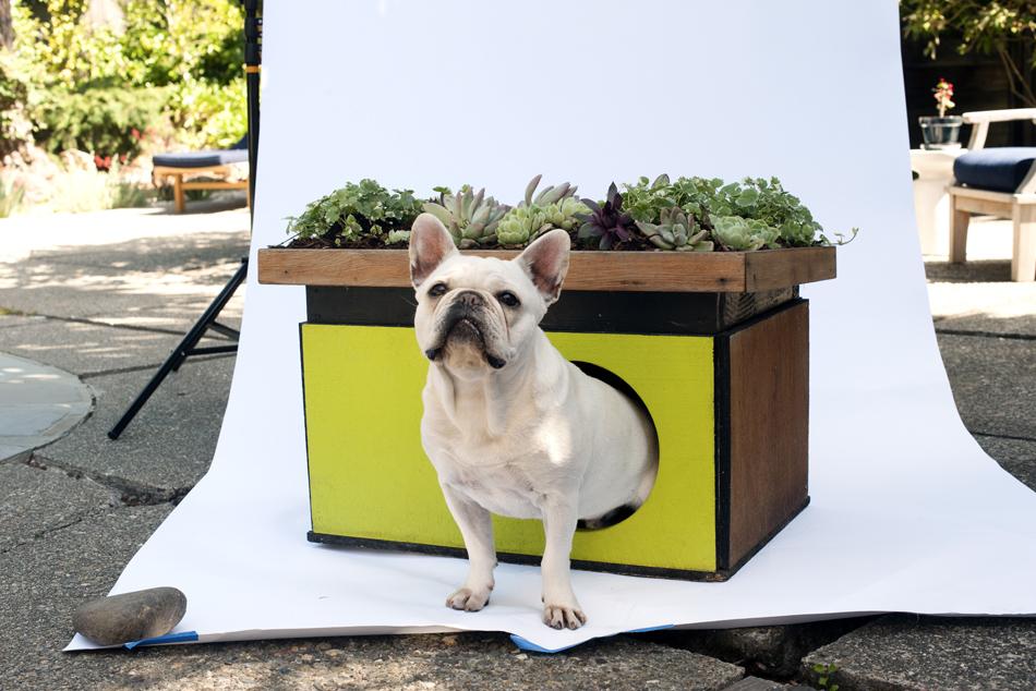 Hugo, um bulldog francês, vive em uma 'eco-casa' com um jardim de suculentas.
