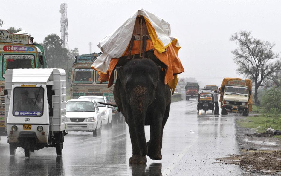 Indiano usa uma lona para se cobrir sobre seu elefante em uma rodovia perto de Bagodara, no estado indiano de Gujarat. As chuvas de monções são essenciais para a agricultura do país.