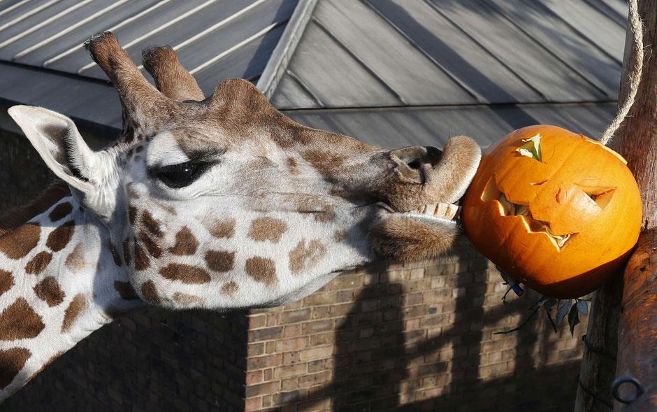 Girafa parece beijar uma abóbora de Halloween com que foi presenteada no zoológico de Londres, durante evento que celebrou a data.