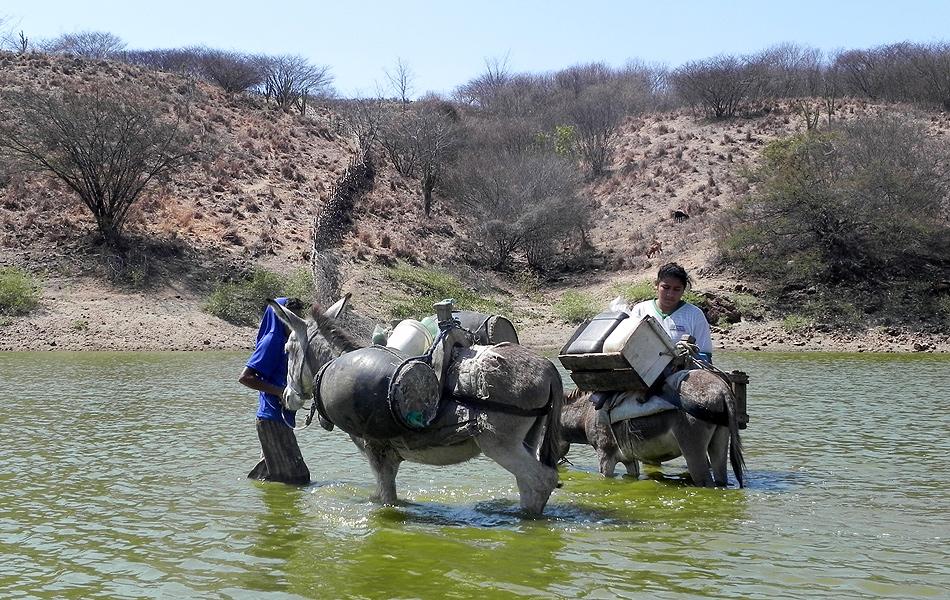 Os animais usados para transportar a água aproveitam para matar a sede