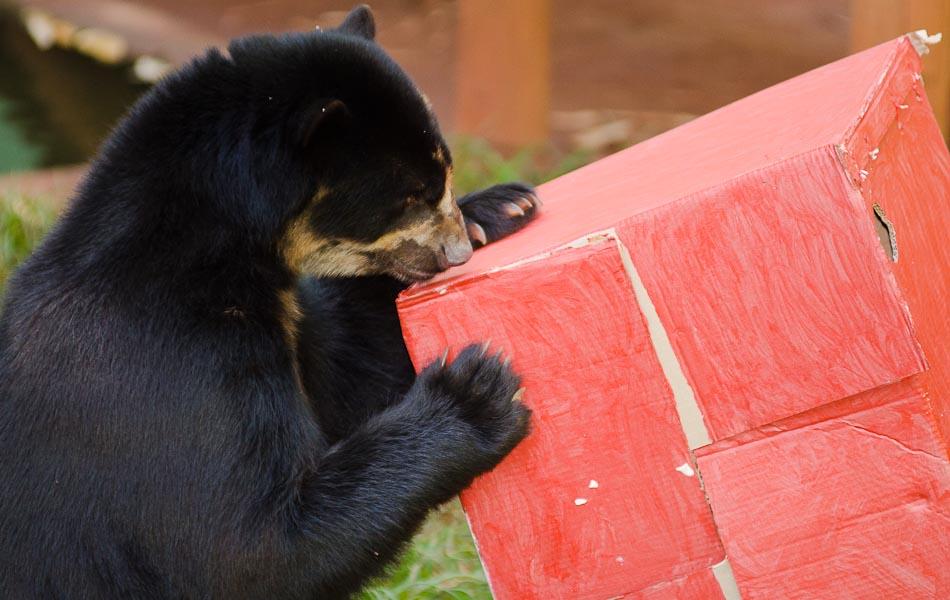 Curioso, o urso de óculos Renan abraça a caixa de presentes no Bosque de Ribeirão Preto, SP