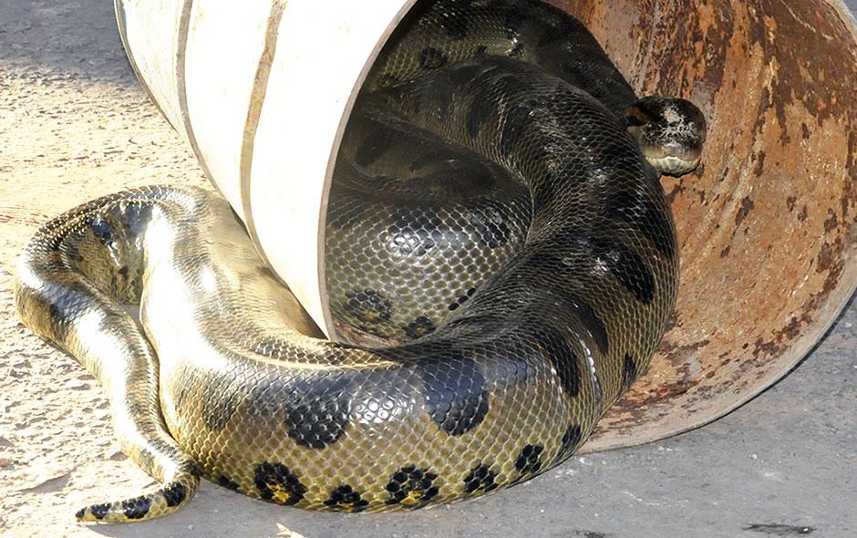 Moradores chamaram bombeiros para capturar cobra de 6 metros em Várzea Grande.