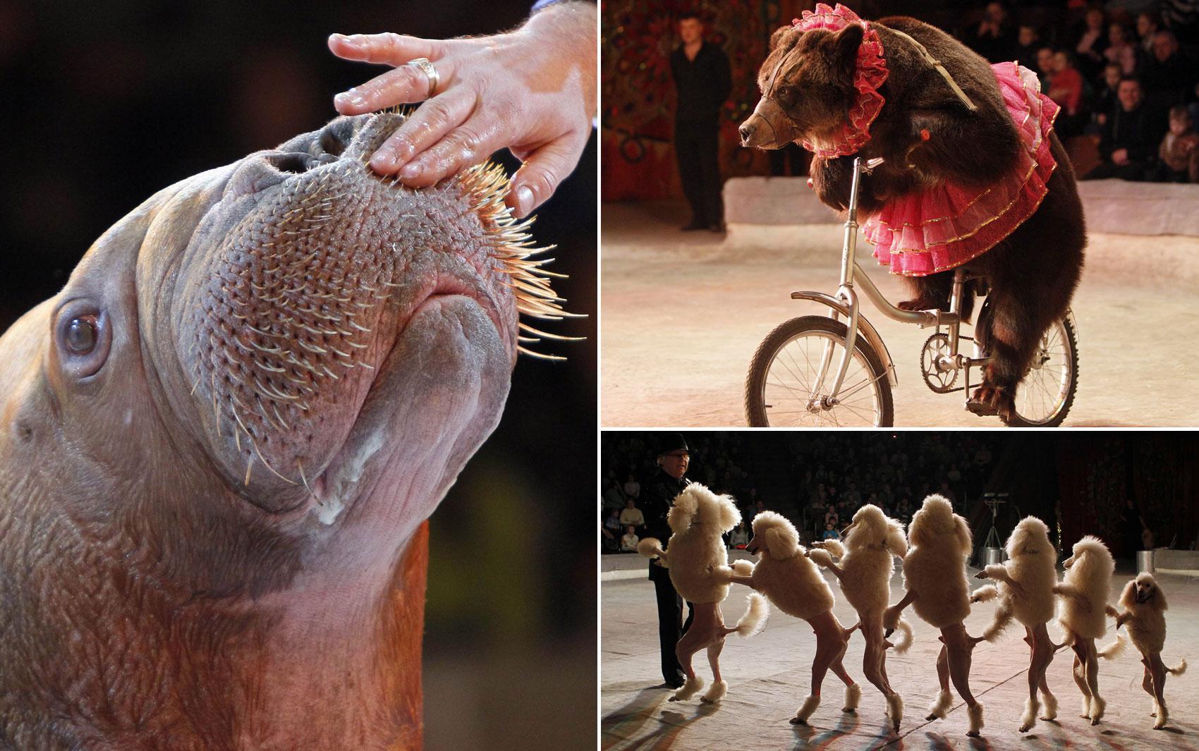 O Circo nacional apresenta um novo espetáculo em Kiev, Ucrânia, que conta com apresentações de morsas, cachorros e até um urso que anda de bicicleta. O uso de bichos selvagens se em circos gera protestos de defensores dos animais ao redor do mundo.