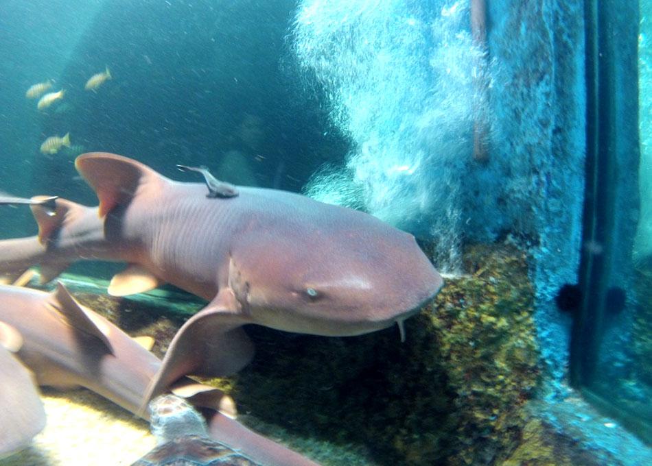 Tubarão da espécie lixa pode medir até 4 metros de comprimento
