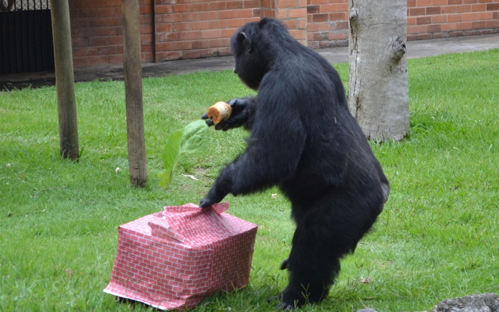 Chimpanzé ganha caixa de presente com panetones, ameixa, pêssego e outras guloseimas