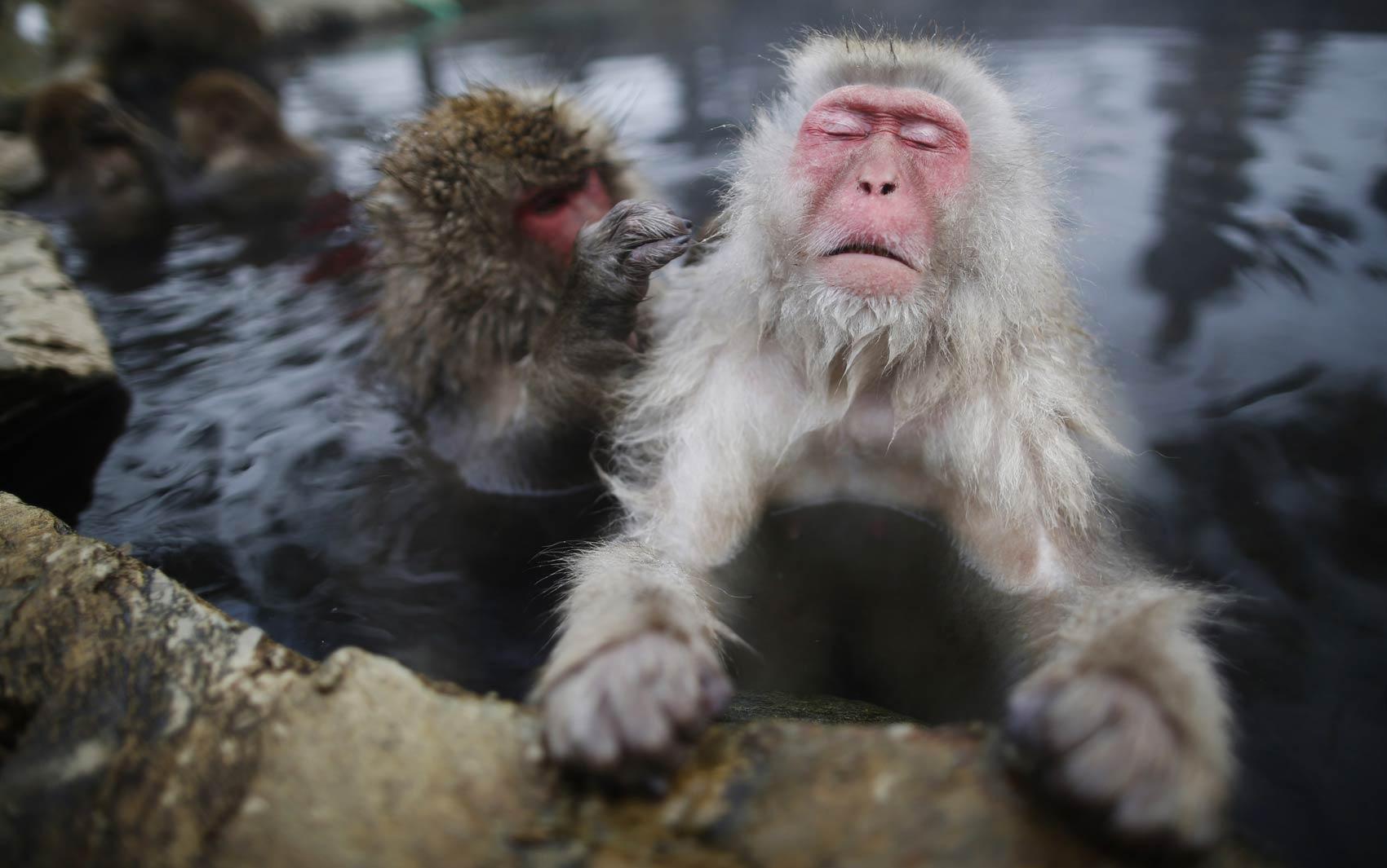 20/1 - Macaco-japonês fecha os olhos e parece relaxar enquanto 'amigo' mexe em seu pelo em fonte termal na cidade de Yamanouchi, no Japão