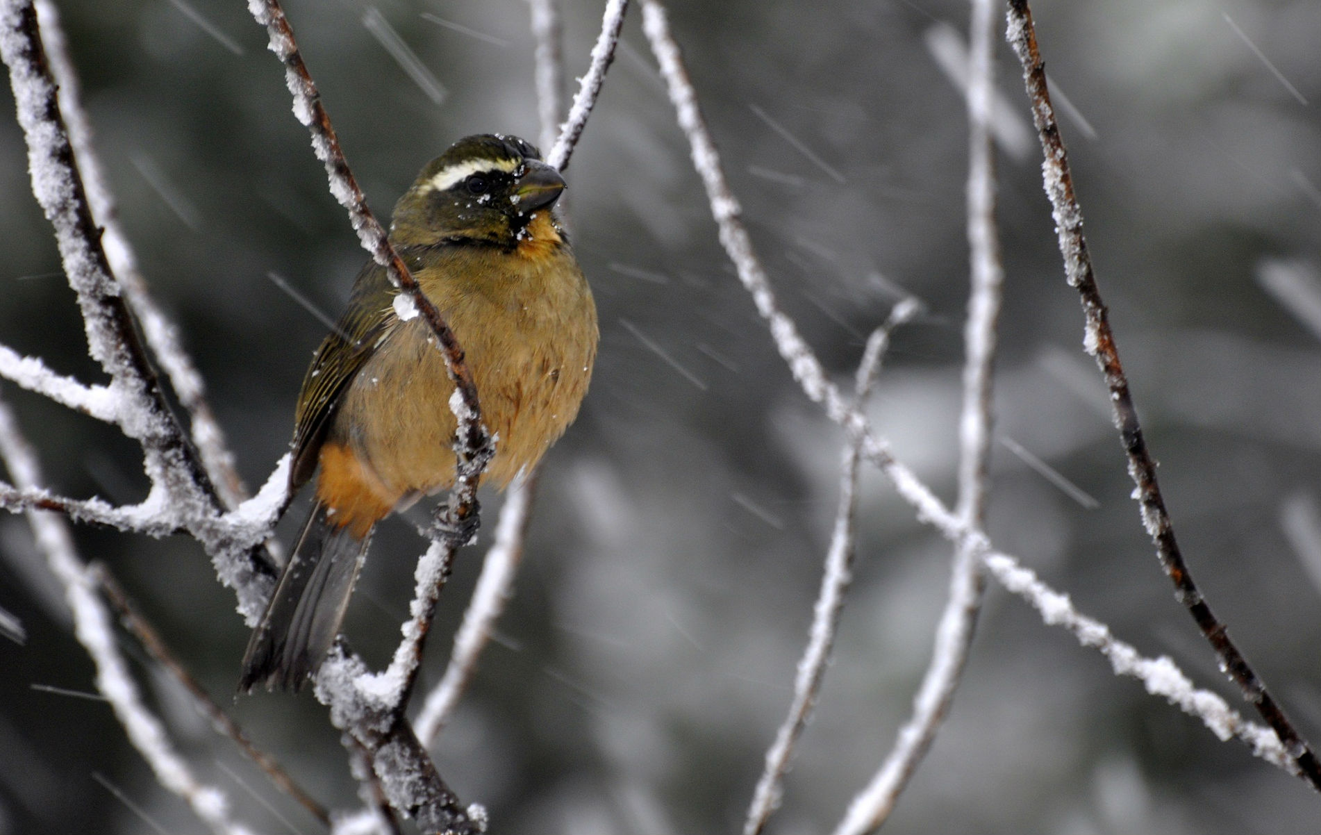 Pássaro Bico-Grosso, nome científico: Saltator maxillosus