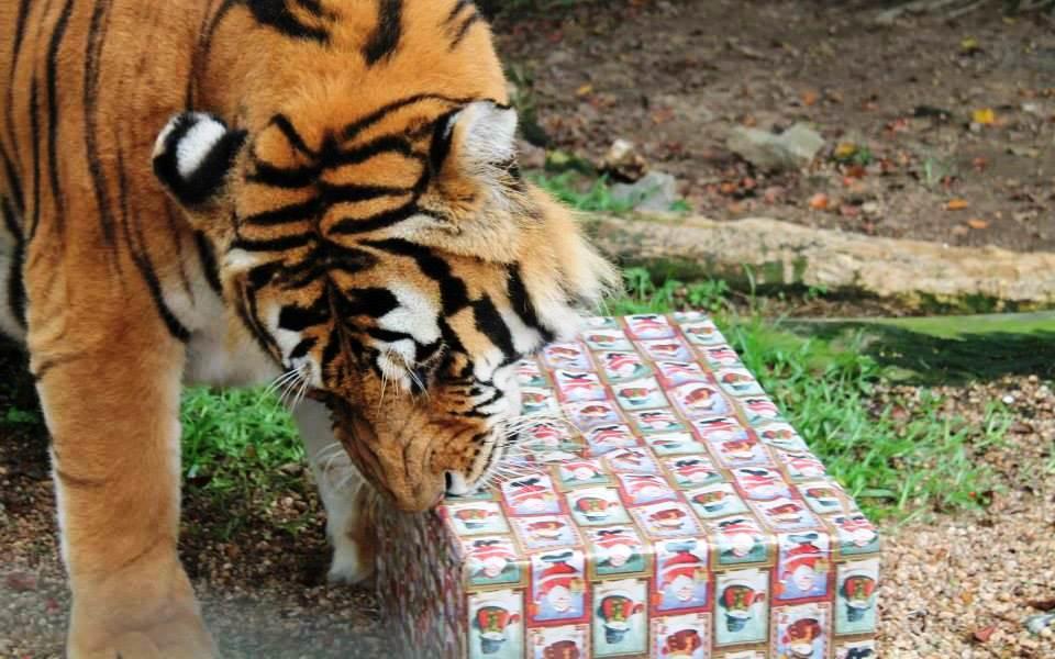 Tigre-siberiano ganhou presente com embrulho natalino