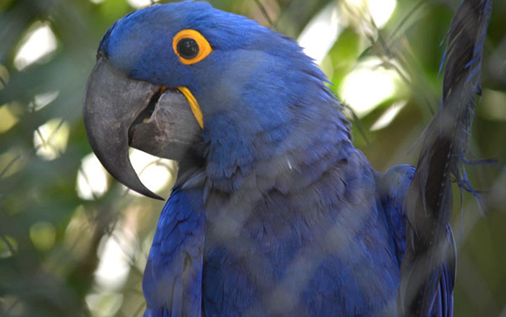 Arara Azul no Bosque dos Jequitibás em Campinas