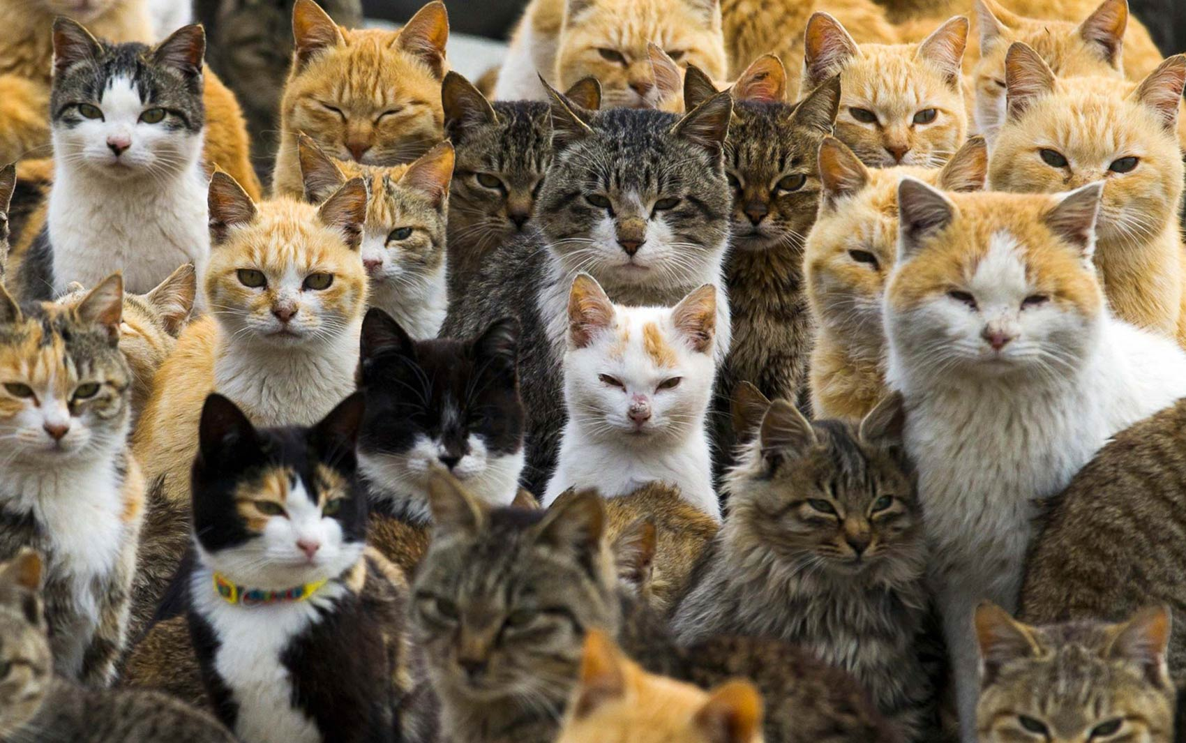 03/03 - A remota ilha de Aoshima, na província de Ehime, no sul do Japão, é dominada por gatos, tendo uma população de felinos seis vezes maior do que a de humanos