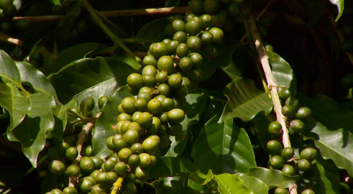 Governo suspendeu autorização de importação do café conilon (Foto: Reprodução EPTV)