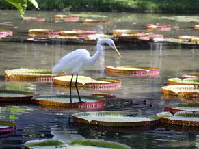 Lago das Vitórias-régias no Jardim Botânico do Rio (Foto: Assessoria de Comunicação do Instituto de Pesquisas Jardim Botânico do Rio de Janeiro / Divulgação)