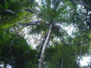 Palmeira de onde é retirado o palmito juçara (Foto: Divulgação)