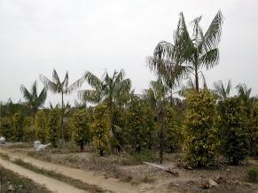Exemplo de área SAF em Tomé-Açu, PA, com 3 anos (Foto: Divulgação)