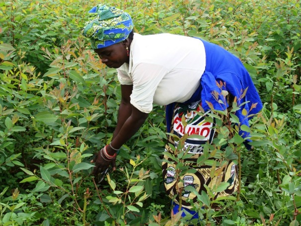 Manejo Comunitário Cefloma Moçambique (Foto: Divulgação )