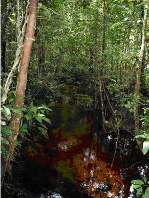 Globo Ecologia: peixes da Reserva Adolpho Ducke (Foto: Divulgação/ Florian Wittmann)
