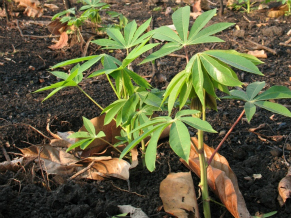 Espécie plantada em terra preta (Foto: Divulgação)