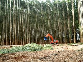 Eucalipto é usado na fabricação da celulose (Foto: Divulgação)