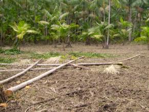 O palmito só é extraído do açaizeiro quando a árvore está alta demais (Foto: Divulgação)
