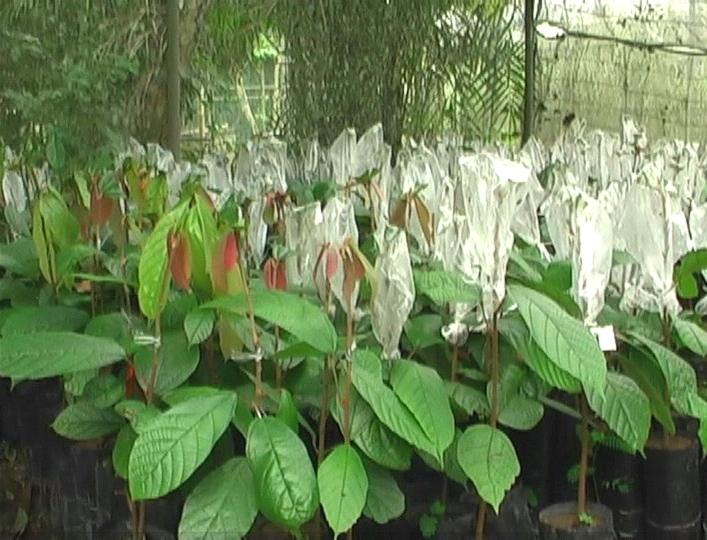 """Plantas clonadas são resistentes à """"vassoura de bruxa"""" (Foto: Bom dia Amazônia)"""