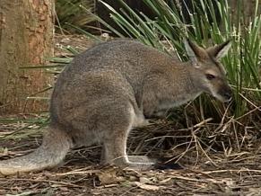 Canguru (Foto: Reprodução de TV)