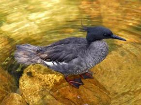 O pato-mergulhão é uma espécie ameaçada de extinção (Foto: Divulgação / Adriano Gambarini)